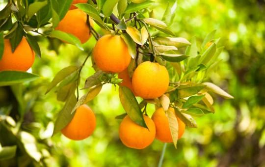 Plant nursery and fruit trees